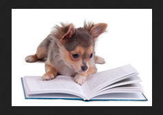 lecture pour chihuahua
